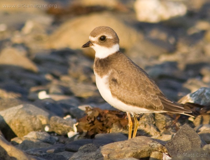 20070822-semipalmated_plover-3.jpg