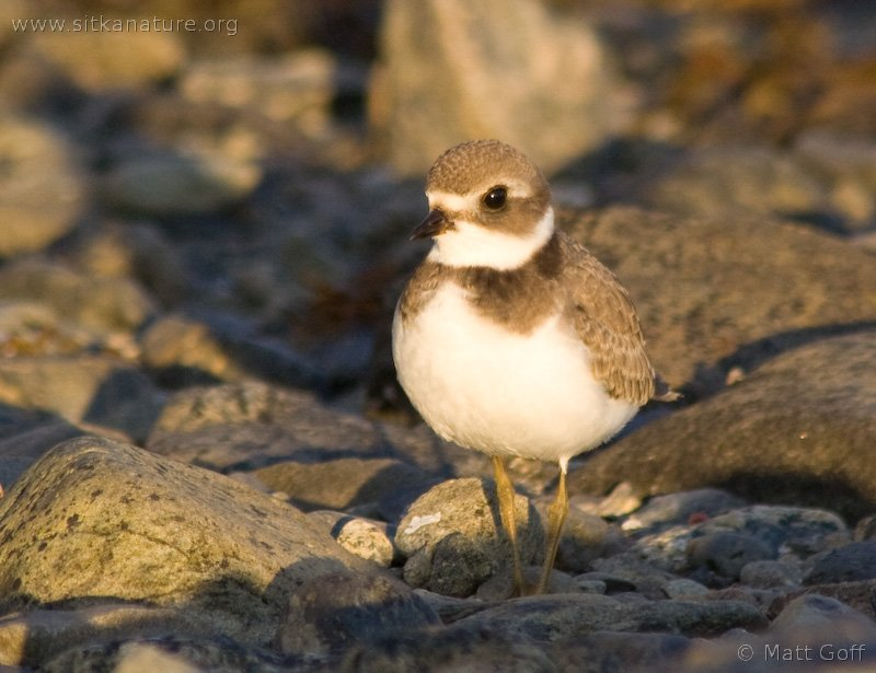 20070822-semipalmated_plover-5.jpg