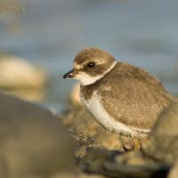 20070822-semipalmated_plover-1.jpg