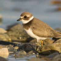 20070822-semipalmated_plover-2.jpg