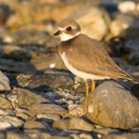 20070822-semipalmated_plover-4.jpg