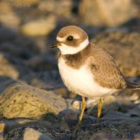 20070822-semipalmated_plover-6.jpg