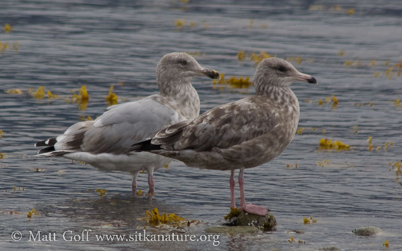 Unidentified Immature Gulls