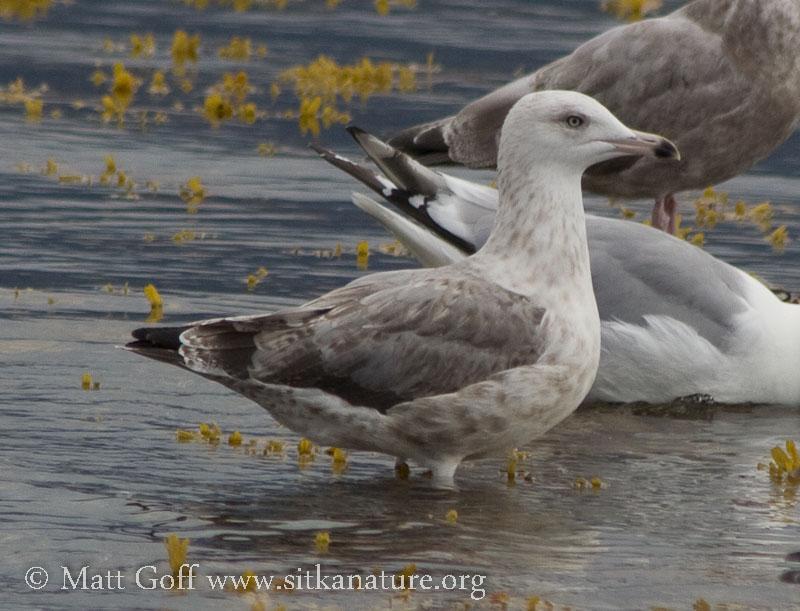 Immature Herring(?) Gull