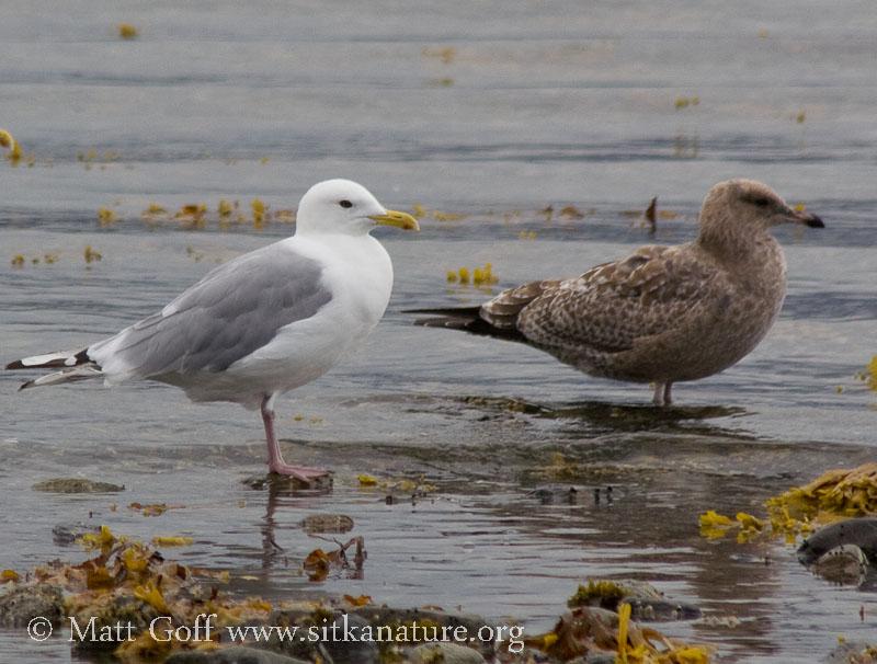 Totem Park Gulls