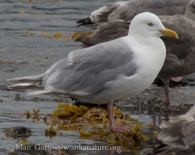 Thayer's Gull
