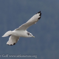 20070825-black-legged_kittiwake-1.jpg