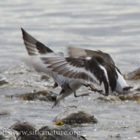 20070825-black_turnstones.jpg