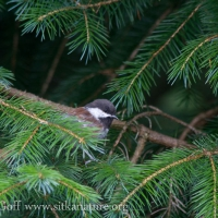 20070825-chestnut-backed_chickadee.jpg