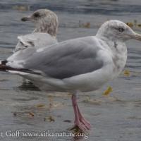 Unidentified Gull