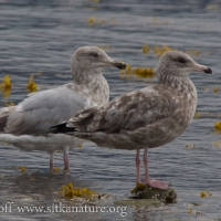 Unidentified Immature Gulls