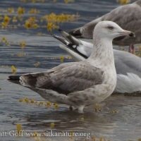 Immature Herring(?) Gull