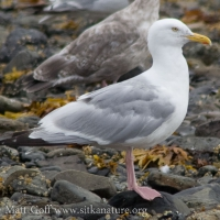 20070825-herring_gull.jpg