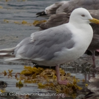 20070825-thayers_gull-1.jpg