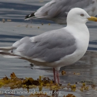 20070825-thayers_gull-3.jpg