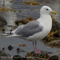 20070825-thayers_gull.jpg