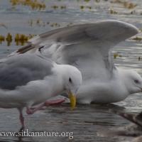 Thayer's Gulls