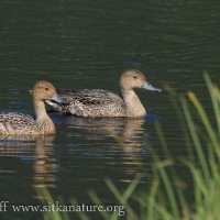 20070827-northern_pintail-1.jpg