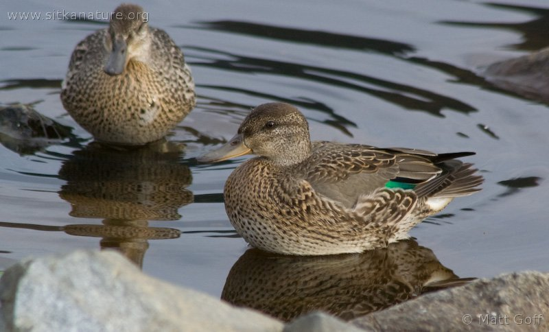 20070828-green-winged_teal-1.jpg