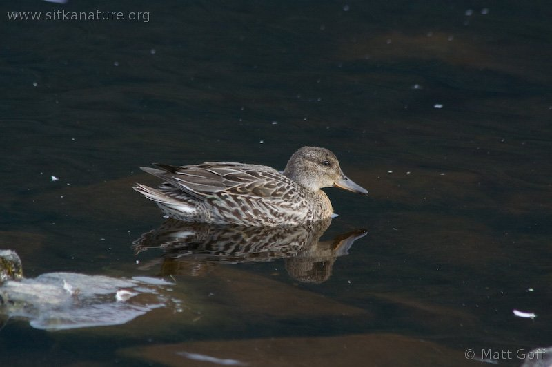 20070828-green-winged_teal-3.jpg