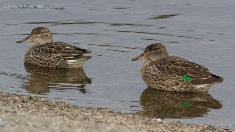 20070828-green-winged_teal-4.jpg