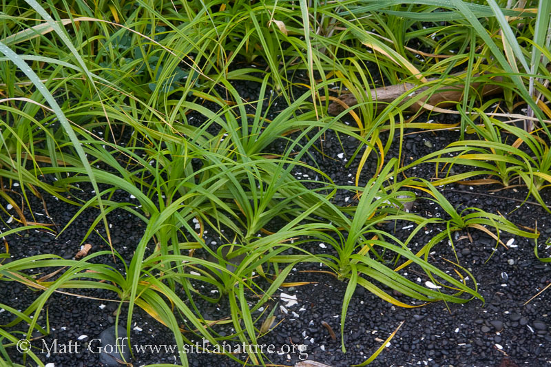 Large-head Sedge (Carex macrocephala)