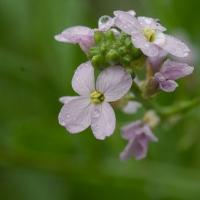 Searocket (Cakile edentula) Flowers