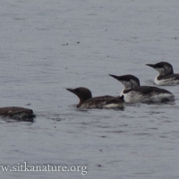 20070830-common_murres-1.jpg