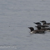 20070830-common_murres-2.jpg