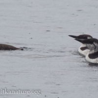 20070830-common_murres-4.jpg