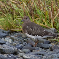 Black Turnstone