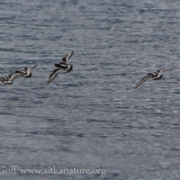 20070831-black_turnstones-1.jpg