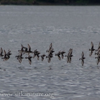 20070831-black_turnstones-2.jpg