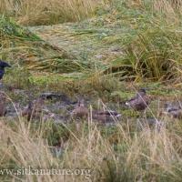 Raven and Mallards