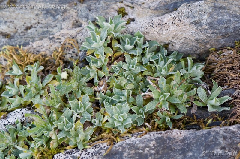 20070903-antennaria_monocephala-2.jpg