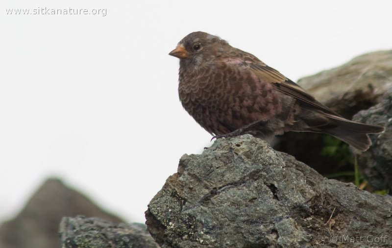 20070903-gray-crowned_rosy-finch-2.jpg