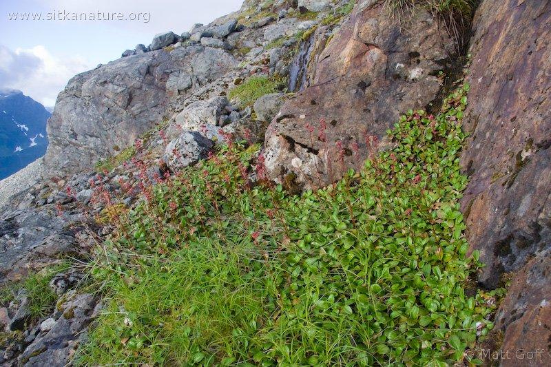 20070903-leptarrhena_pyrolifolia-2.jpg