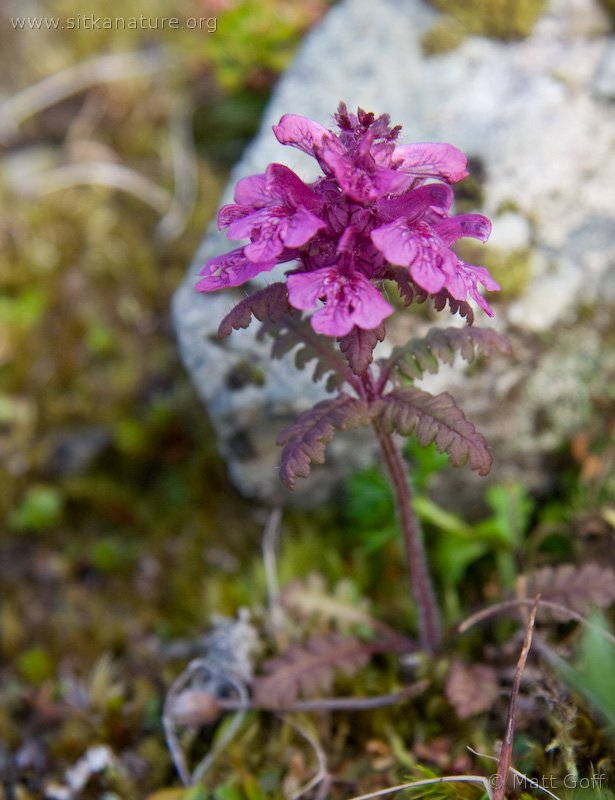 20070903-pedicularis_verticillata.jpg