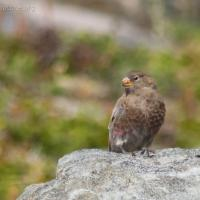 20070903-gray-crowned_rosy-finch-1.jpg