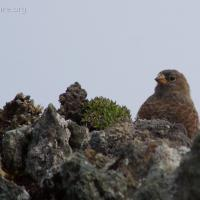 20070903-gray-crowned_rosy-finch-3.jpg