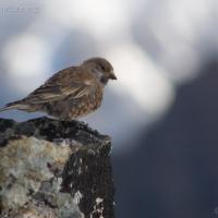 20070903-gray-crowned_rosy-finch-4.jpg