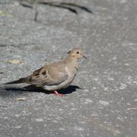 20070903-mourning_dove-1.jpg