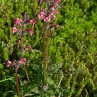 20070903-pedicularis_ornithorhyncha.jpg