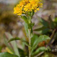 20070903-solidago_multiradiata.jpg