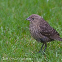 20070904-brown-headed_cowbird-1.jpg