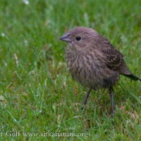 Juvenile Brown-headed Cowbird