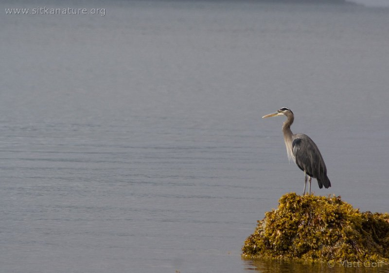 20070905-great_blue_heron-2.jpg