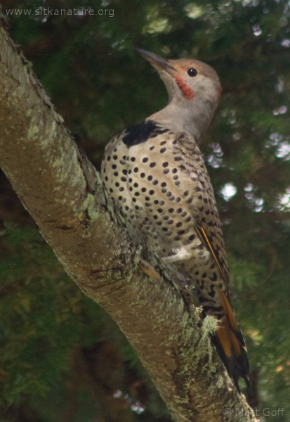 20070911-northern_flicker-2.jpg