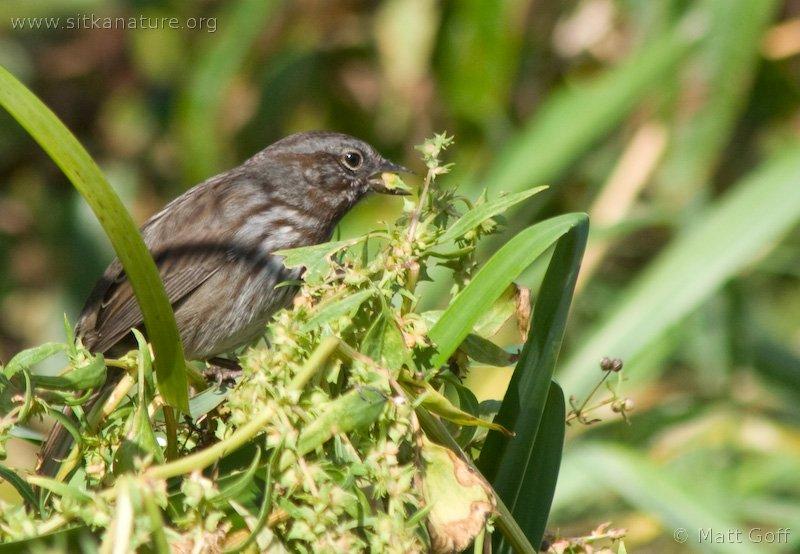 20070913-song_sparrow_atriplex.jpg