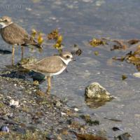 20070913-semipalmated_plover-1.jpg